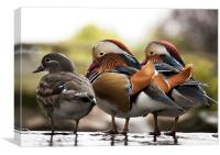 Mandarin Ducks, Canvas Print