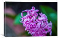 Hyacinth Purple Sensation, Canvas Print