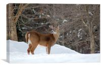 Whitetail Deer In Winter, Canvas Print