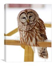 Barred Owl, Canvas Print