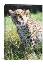 Innocent little cub, Canvas Print