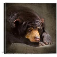 Sad Sun Bear, Canvas Print
