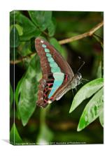Common Bluebottle butterfly, Canvas Print
