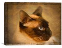 Suki, a beautiful Siamese, Canvas Print