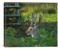 Fallow deer buck in rutting season, Canvas Print