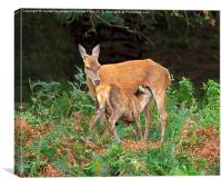 Red deer with fawn, Canvas Print