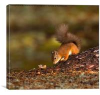 Red Squirrel Searching for Food, Canvas Print