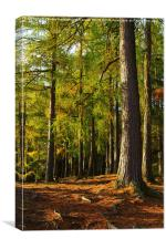 Larch forest at dawn near Loch An Eilein, Canvas Print