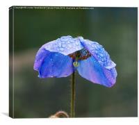 Himalayan Blue Poppy, Canvas Print