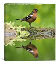 Common Chaffinch, Fringilla coelebs, male, Canvas Print