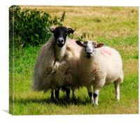 Swaledale sheep with lamb in the Lake District, Cu, Canvas Print