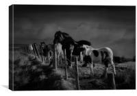 Moorland horses, Canvas Print