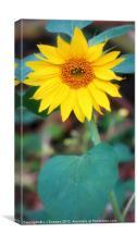 Sunflower In The Wilderness, Canvas Print
