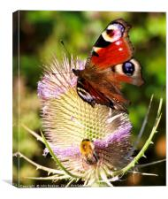 Peacock Butterfly and bee, Canvas Print