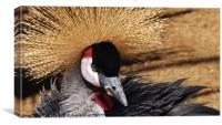 Crowned Crane, Canvas Print