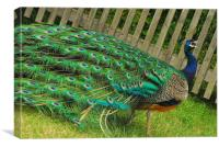 Beautiful Peacock, Canvas Print