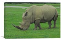 Male White Rhino, Canvas Print
