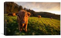 Highland Cattle in the Golden Hour, Canvas Print