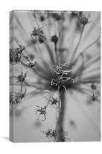 Seeded Allium II, Canvas Print