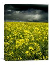 Rape Seed Yellow, Aberdeenshire, Canvas Print