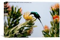 Hummingbird at Kirstenbosch CPT, Canvas Print