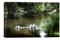 Swans on preston lancaster canal, Canvas Print