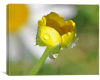 Buttercup and Daisy, Canvas Print
