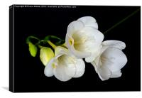 White Freesia on Black Background, Canvas Print