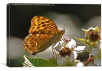 Silver Washed Fritillary, Canvas Print