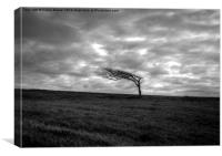 Windswept tree , Canvas Print