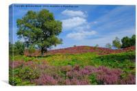 Dunwich Heath in bloom , Canvas Print