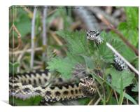 Adders , Canvas Print
