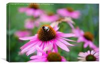 Bumblebee on pink flower, Canvas Print