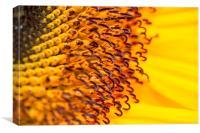 Sunflower close up, Canvas Print