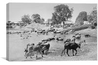 Gujarat Hinterlands and Cattle, Canvas Print