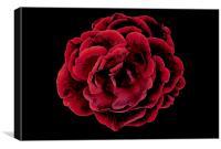 Drama Rose, Canvas Print