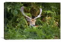 Fallow Deer in the fern., Canvas Print