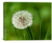 Dandilion clock, Canvas Print