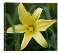 Yellow lily, Canvas Print