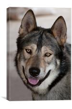 Male malamute, Canvas Print