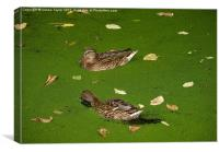 Ducks on Cromford Canal, Derbyshire, Canvas Print