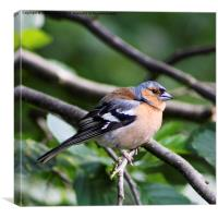 Inquisitive Chaffinch, Canvas Print