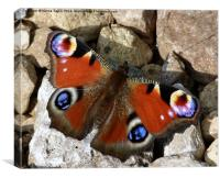A Peacock Butterfly Enjoying The Sunshine., Canvas Print