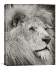 Lion watches his pride, Canvas Print