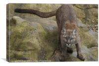 The Puma ready to pounce, Canvas Print