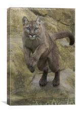 Puma pounce, Canvas Print