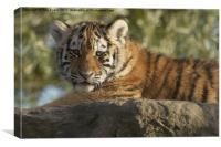 Tiger cub sunbathing, Canvas Print