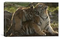 Amur Tiger Cubs playing, Canvas Print