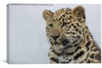 Amur leopard watches over her cubs, Canvas Print