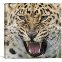Amur Leopard snarling, Canvas Print